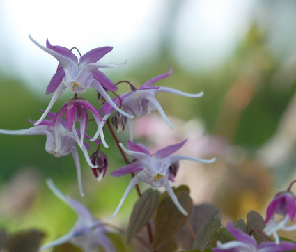 Epimedium grandiflorum 'Chris Norton'