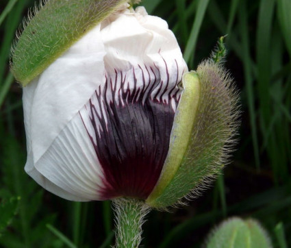 Papaver orientale 'Black and White'