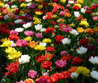 Tulipa 'Murillo Mix'