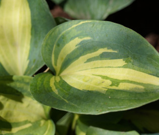 Hosta Hybride 'Dream Weaver'