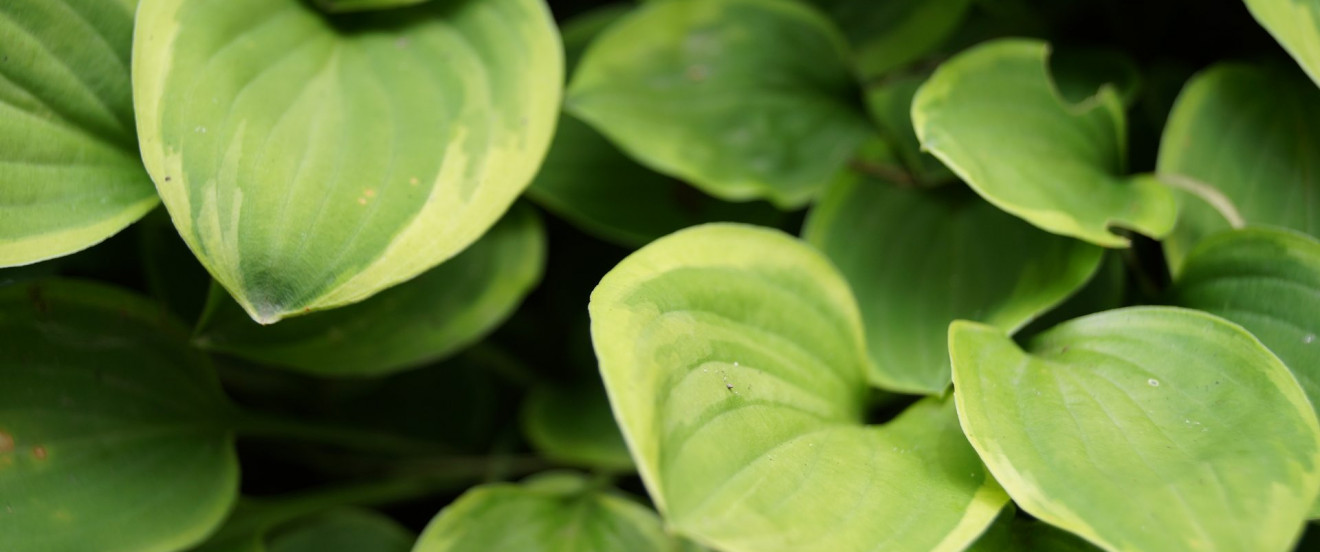 Hosta Hybride 'Golden Tiara'