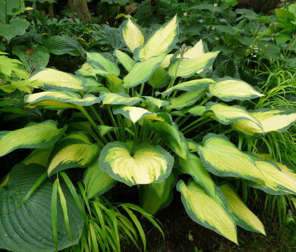 Hosta Hybride 'Orange Marmalade'