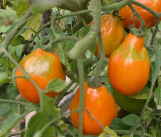 Tomate 'Golden Pear'