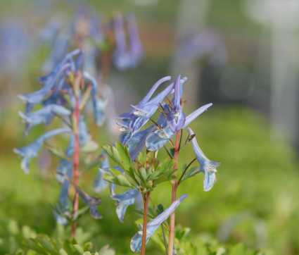 Corydalis elata 'Blue Summit'